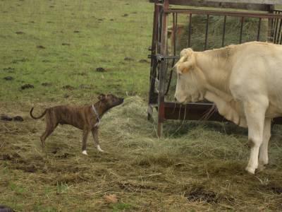 ...**Tyson et sa vache*...