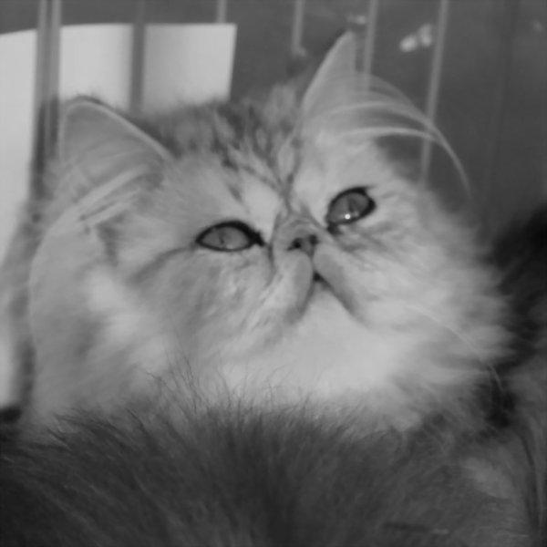 chatterie des persans de geisha enoa élevage de chats persans et exotics shortairs