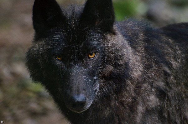 Un loup bien pensif !