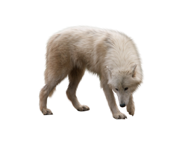 Des loups blancs .