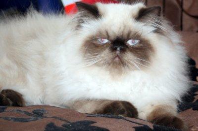Chatons persans nés à la maison en 2010 et disponibles
