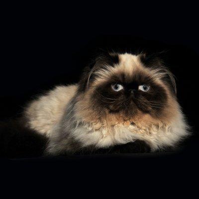 Ils ont trouvé une famille : chatons persans nés en 2010