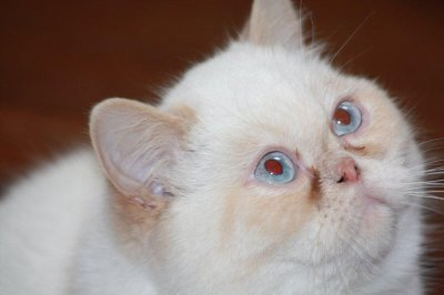 Ils ont trouvé une famille : chatons exotics nés en 2010