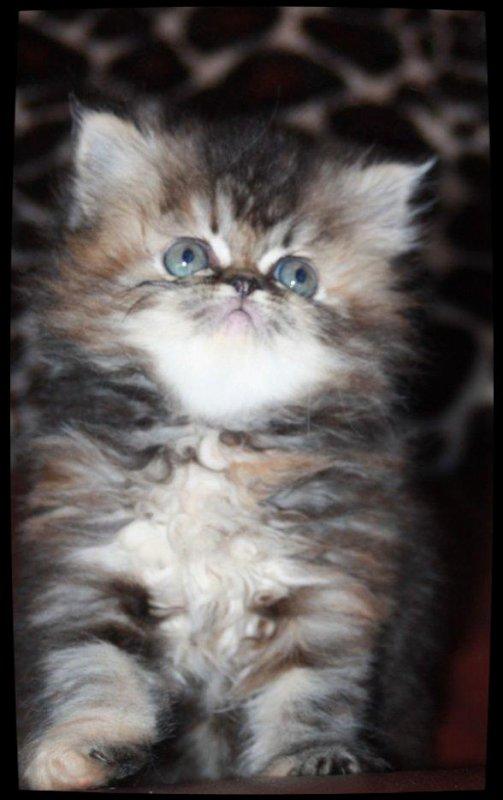 Les chatons à réserver 2 persans ( femelle brown tortie tabby, mâle brown tabby)  et 1 exotic (black tortie)