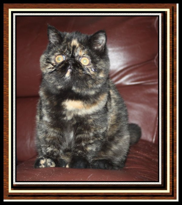 Jadore exotic black tortie (disponible)
