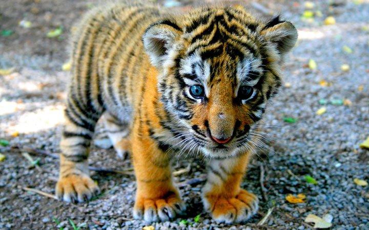 Un tout petit Tigre