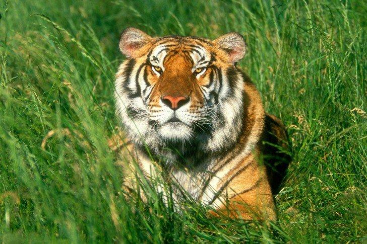 Un tigre (Bonne appétit à tous le monde)