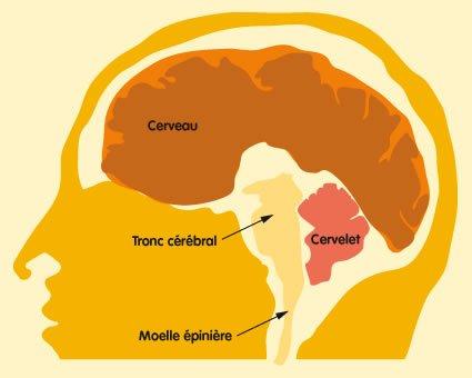 Le tronc cérébral et le cervelet