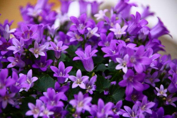 la campanule une fleur magnifique - blog de ptiben62