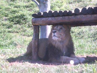 j adore ce lion il ai superbe au chateau du colombier
