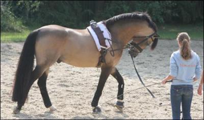 poney hollandais