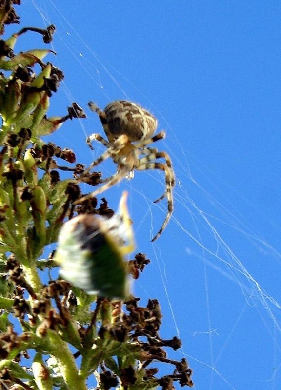 Araignée Diadéme