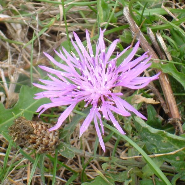 Fleur sauvage : Centaurée Stoebé