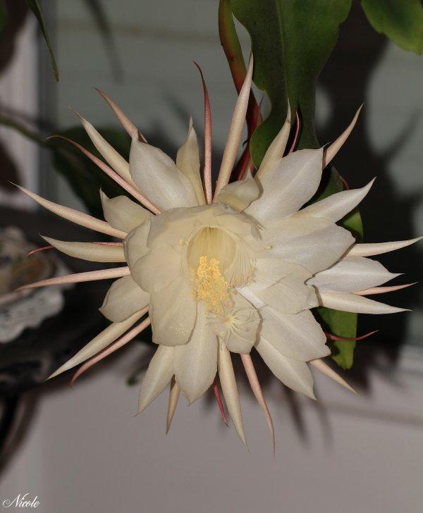"""1ère Floraison de """"Belle de Nuit"""""""
