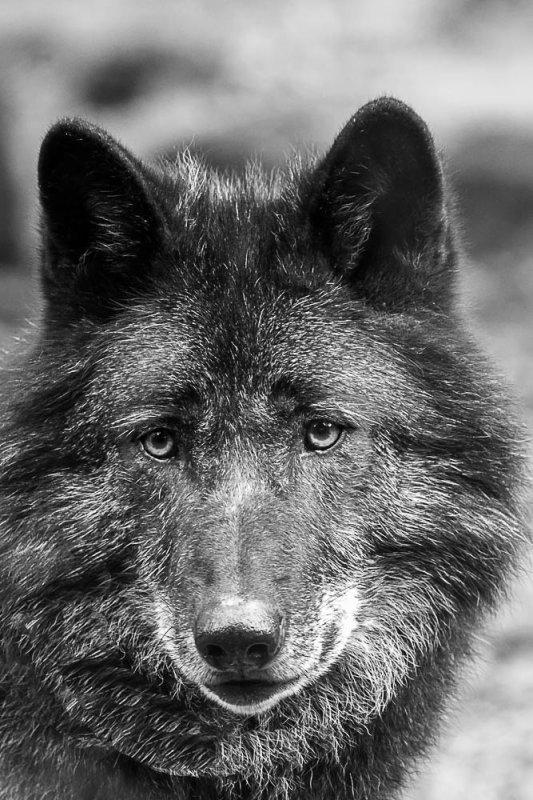 Loup Noir