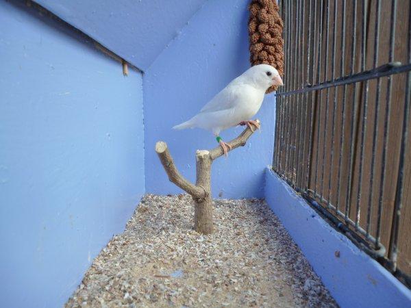femelle blanche