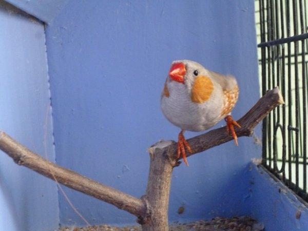 quelle mutation pour ce mâle mandarin