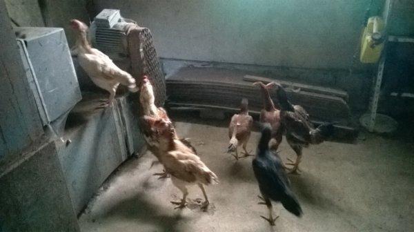 recherche poules et poulettes si bonnes origine ..pas d espagnol