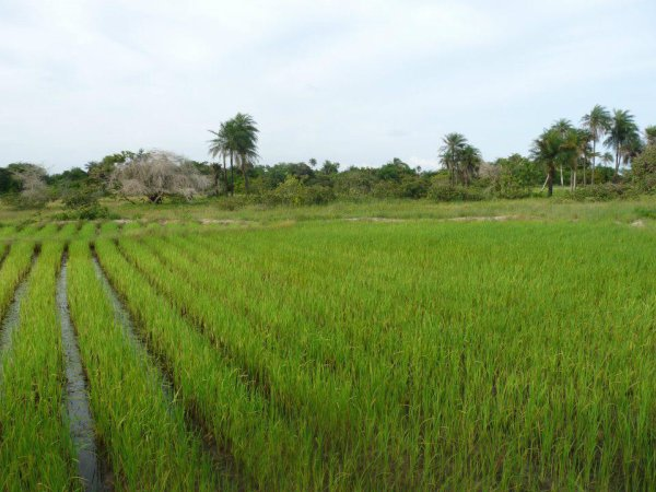 riziere a keloume gnikine