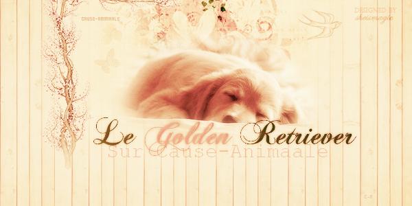 Le Golden Retriever ♥.