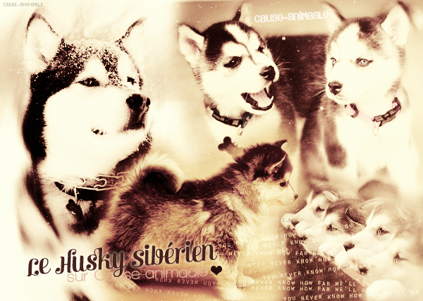 Le Husky Sibérien ♥
