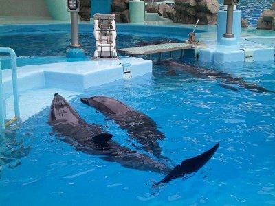 Les dauphines accouchent souvent de morts-nés dans les delphinariums. Quelle en est la cause ?