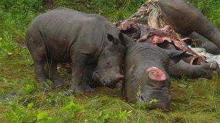 Afrique du Sud: Dans quatre ans, les rhinocéros pourraient avoir disparu