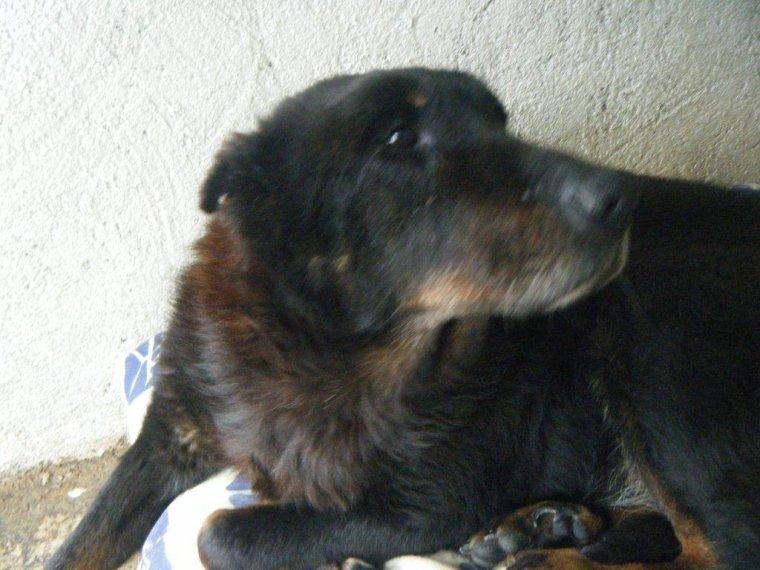 12 ans et demi, grande chienne lâchement larguée par des maîtres indignes