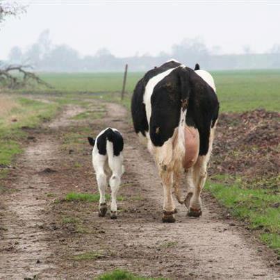 Une vache tente de sauver son petit