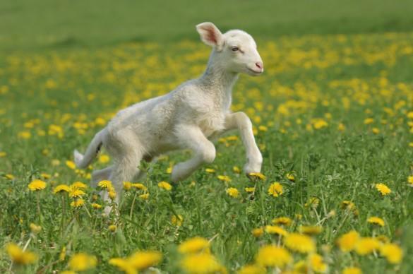L'agneau de Pâques est une idée reçue !!!!!