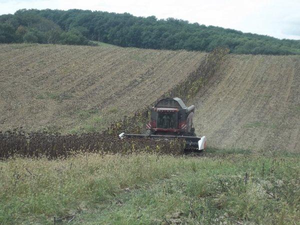 Récolte du tournesol