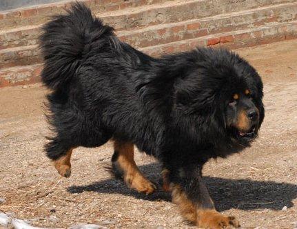 Le Dogue Du Tibet Molosse
