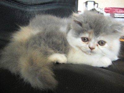 chaton de Ewin / la maman est pas typé