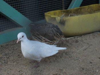 Mais 3 colombe