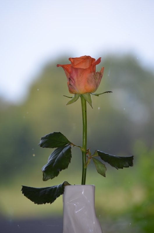 Variation autour d'une rose
