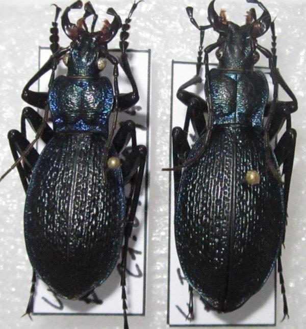 c (chaetocarabus) intricatus