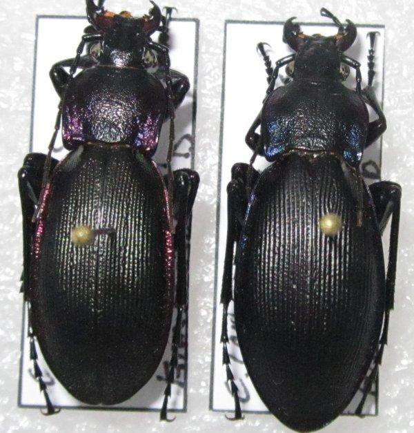 c (megodontus) violaceus purpurascens