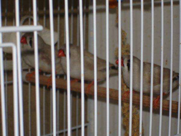 Femelles dos pâles gris agate.