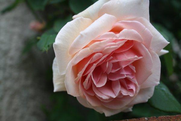 La cité des Roses.