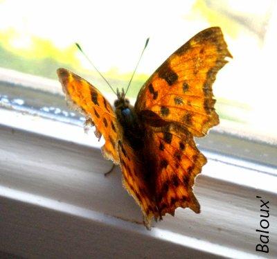 Papillons .