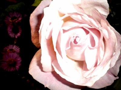 Rose .
