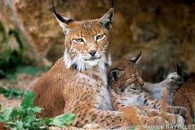 reines des lynx  ( The Queen of Lynxes )