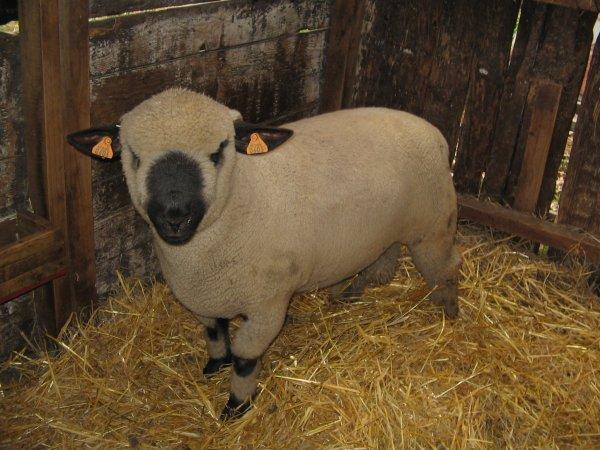 Nouvel agneau