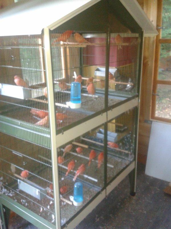 Mon élevage de canaris rouges