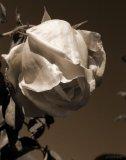 Photo de journal-dune-rose