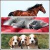 chat-chien-chevaux