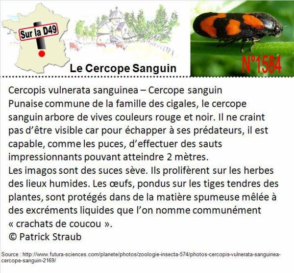 CERCOPE SANGUIN