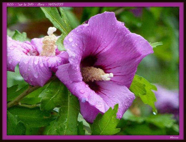 1655 Altéa hibiscus