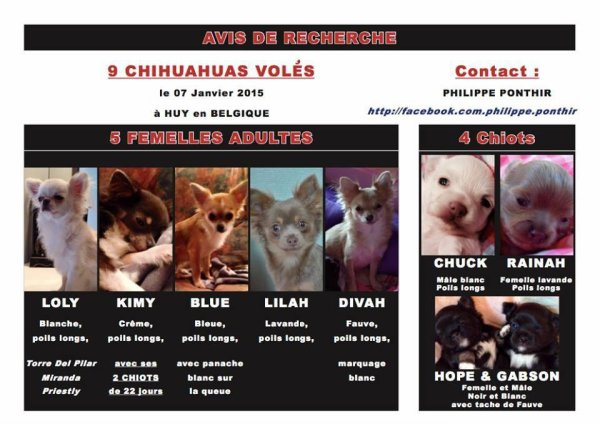 9 chihuahuas volés