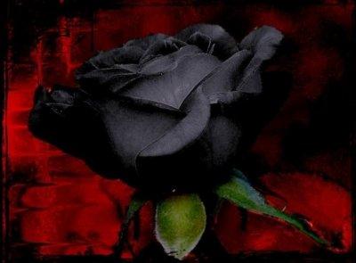 La rose noire...